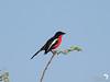 Red Breasted Shrike