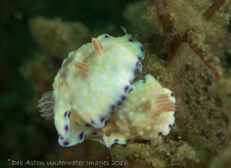 Goniobranchus rufomaculata