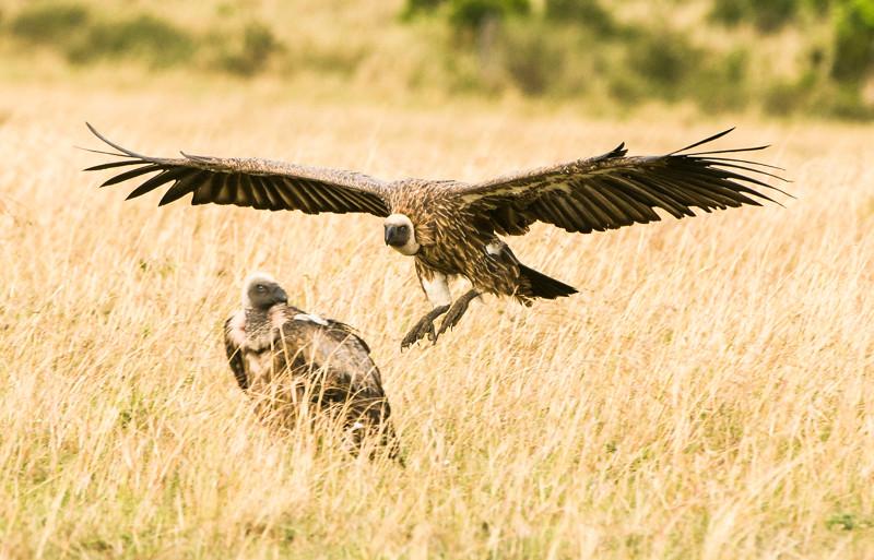 Birds_Vultures-5.jpg