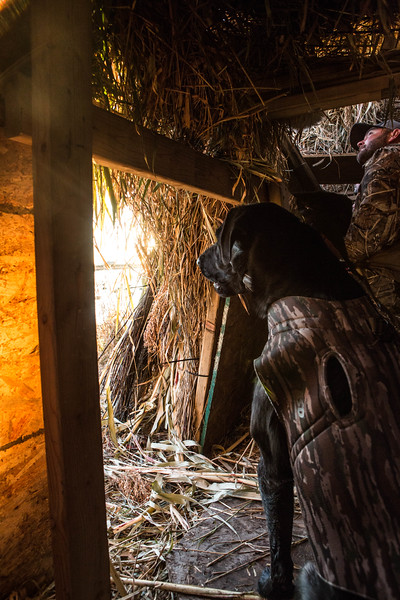 Jet hunting dog in the blind