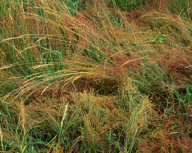 Meadow of Grasses
