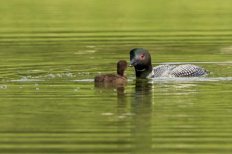 Common Loon feeding Chick