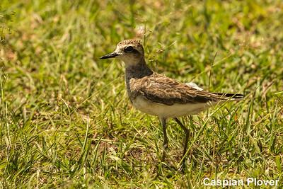 Caspian Plover, Kenya