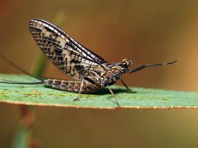 Mayflies - order Ephemeroptera