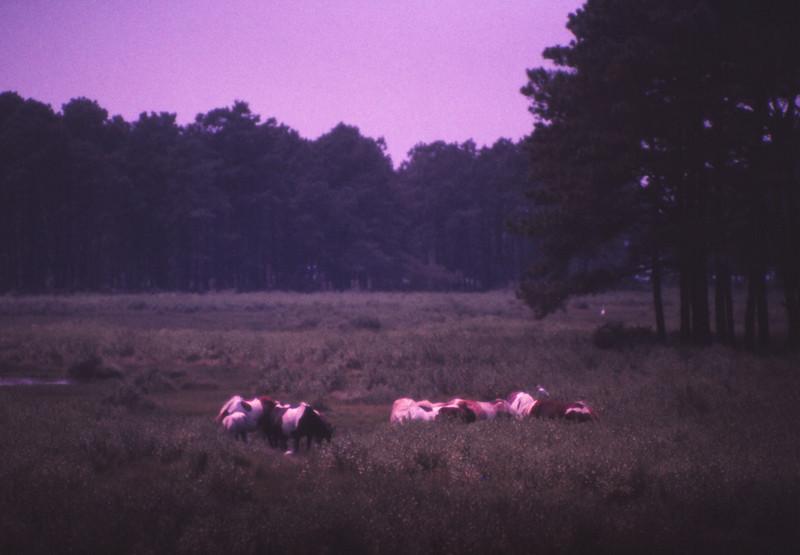 Chincoteague 1981-07 020.jpg