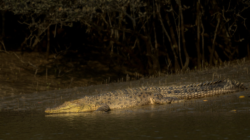 Salt-water-crocodile-Sundarbans-1.jpg