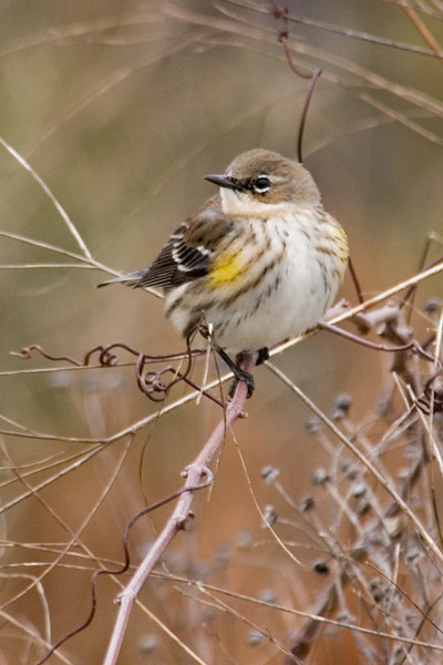 Warbler - Yellow-rumped - St. George Island State Park - FL