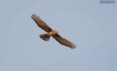Kites, Hawks, Eagles Family Accipitridae