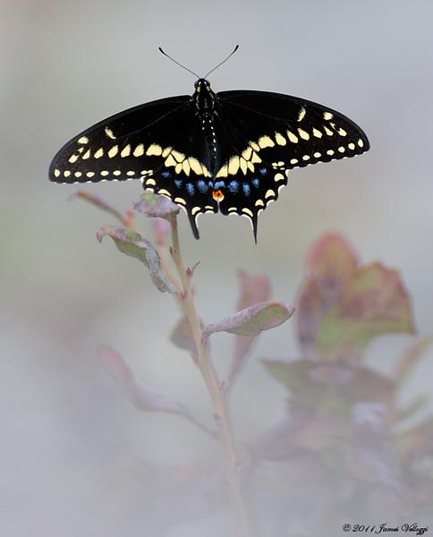 BlckSwallowtail1111a.jpg