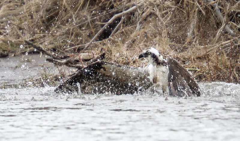 Osprey hunting near Soda Butte Yellowstone National Park WY IMG_0303.jpg