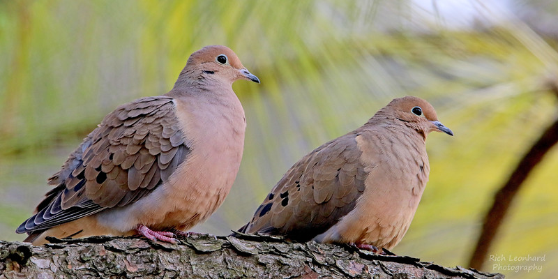 Pair of Mourning Doves in Clark Botanic Garden.