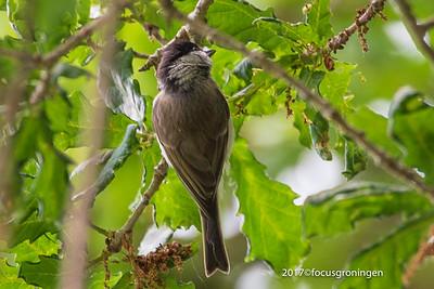 Vogels Zwartkop