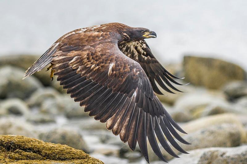 Freedom Rocks! Juvenile Bald Eagles Glides Over the Bishop's Beach Shoreline Homer, Alaska © 2013
