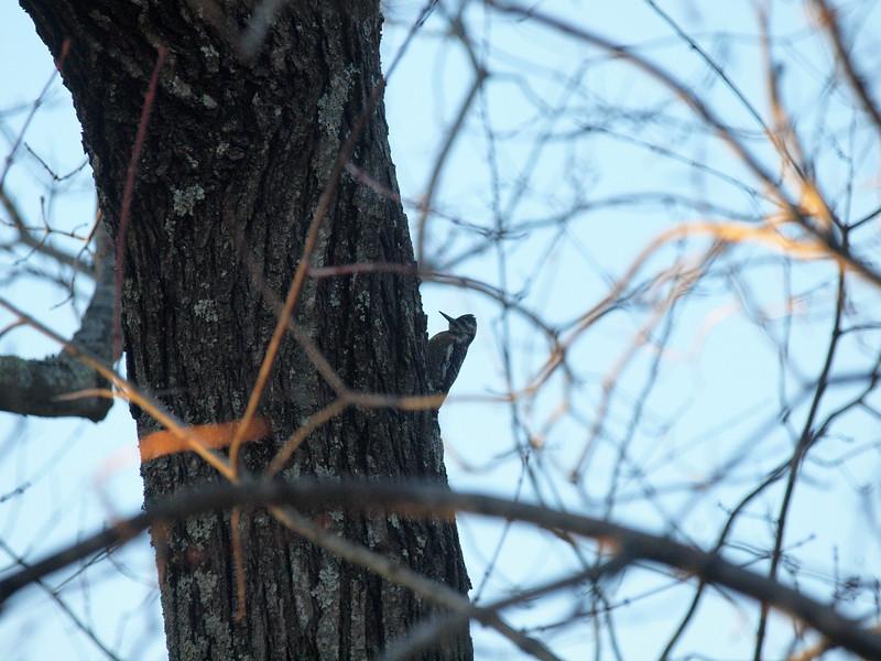 Woodpecker-004.JPG