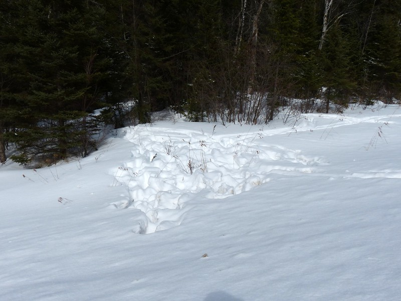 Moose - tracks and trail