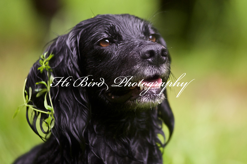 black cocker 3 100.jpg