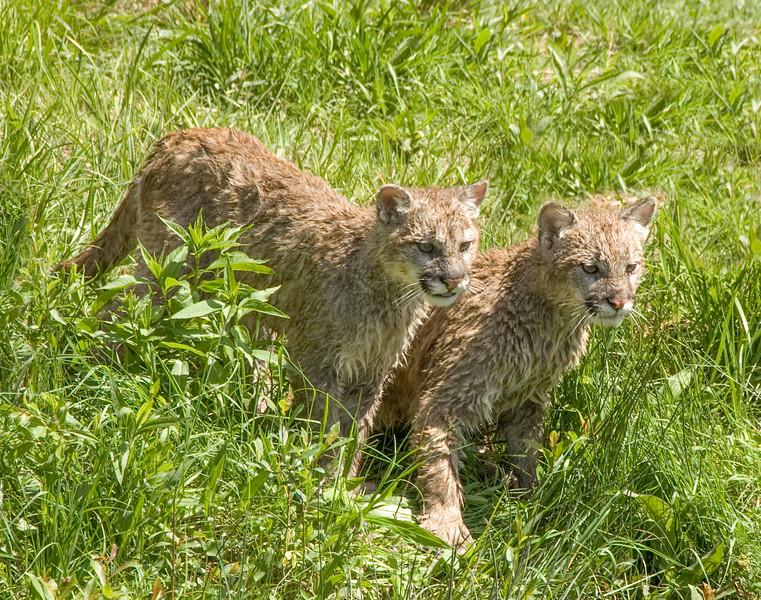 Cougars-6.jpg