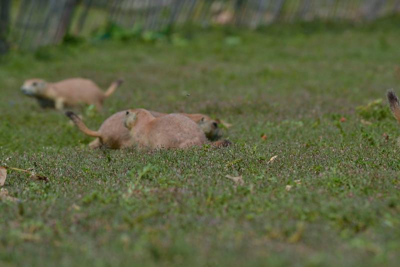 0 20150825 sd Prarie Dogs   (34)dianey_1.jpg