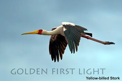Yellow-billed Stork, Kenya