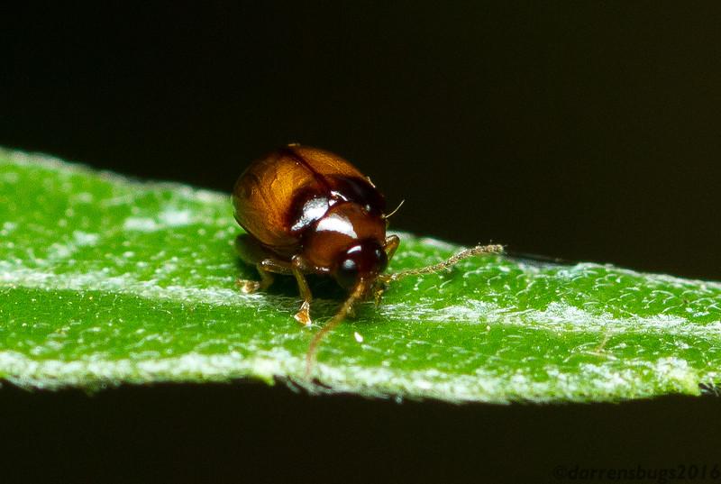 Leaf beetle (Chrysomelidae) from Monteverde, Costa Rica.