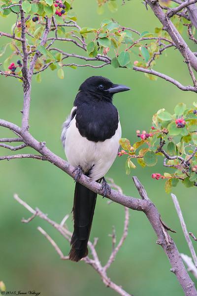 Black-billed Magpie, Pica hudsonia
