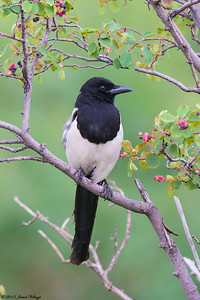 Black-billed Magpie, Pica nuttalli