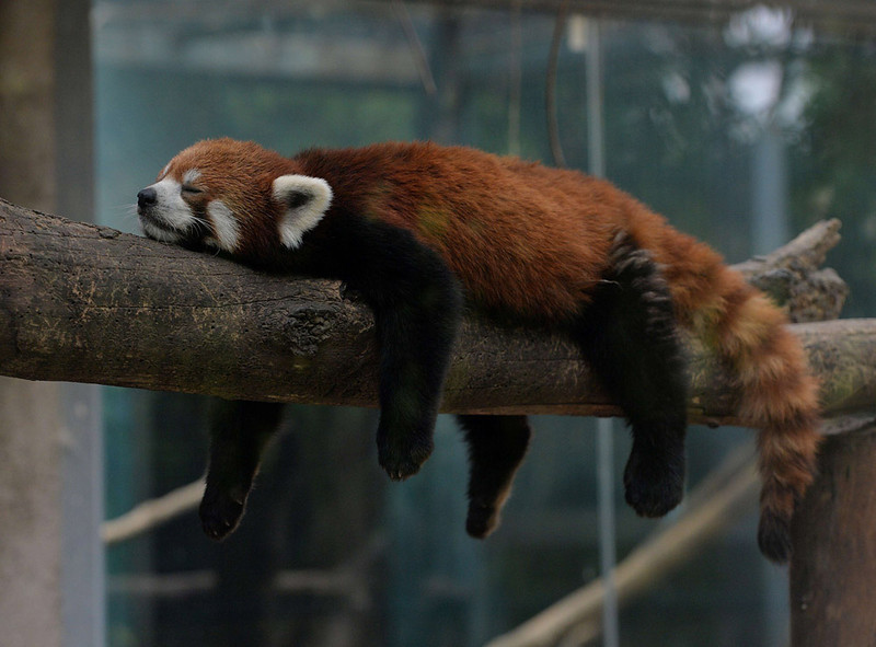. A red panda at the Beijing zoo on June 24, 2013.    AFP PHOTO/Mark RALSTON
