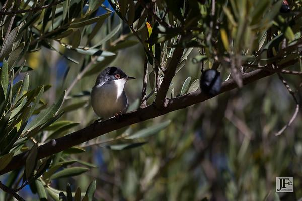 Sardinian Warblers