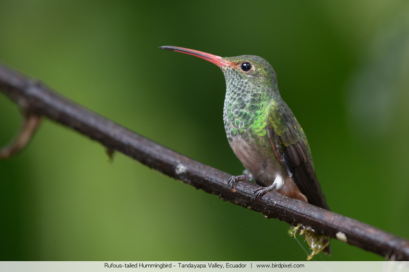 Rufous-tailed Hummingbird - Tandayapa Valley, Ecuador