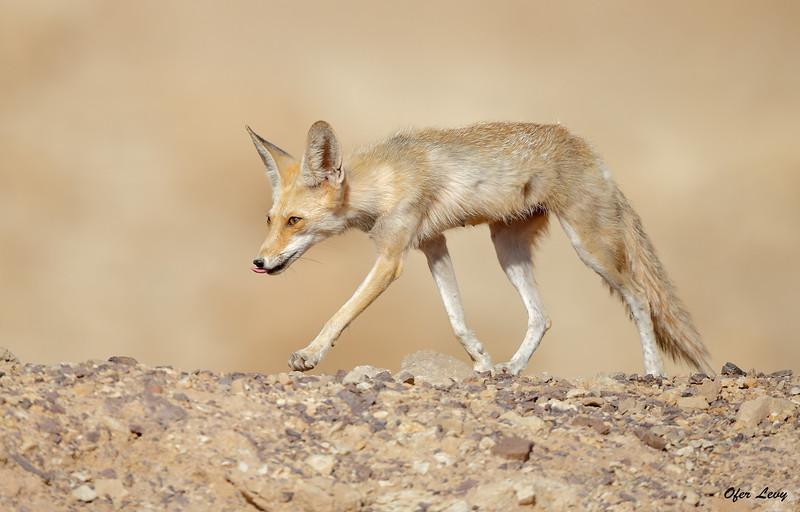 Desert Fox 2.jpg