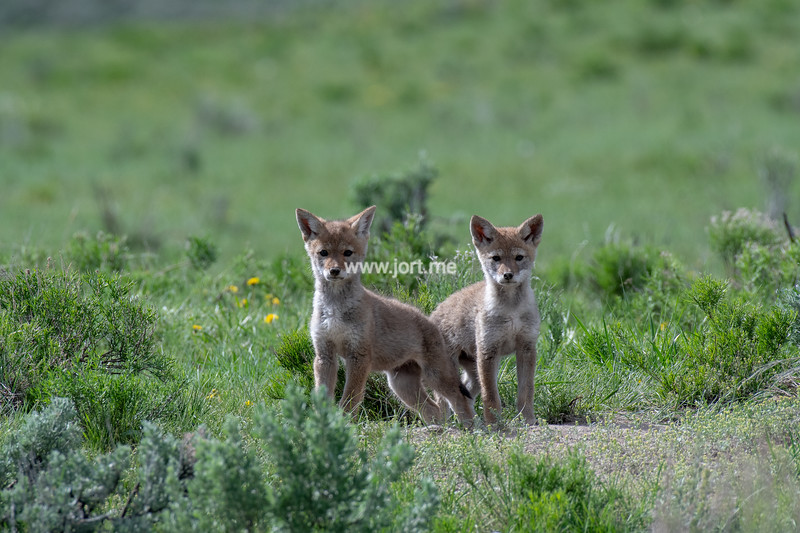 Curious coyote pups