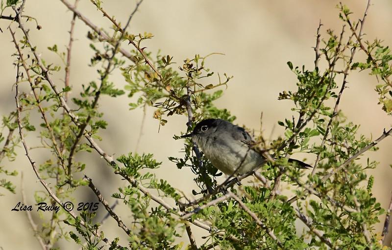 Black-tailed Gnatcatcher - 4/5/2015 - Moonlight Trail, Agua Caliente