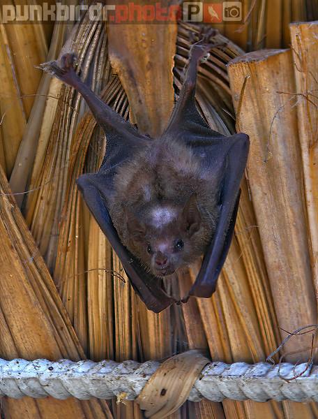 Bats and Rats