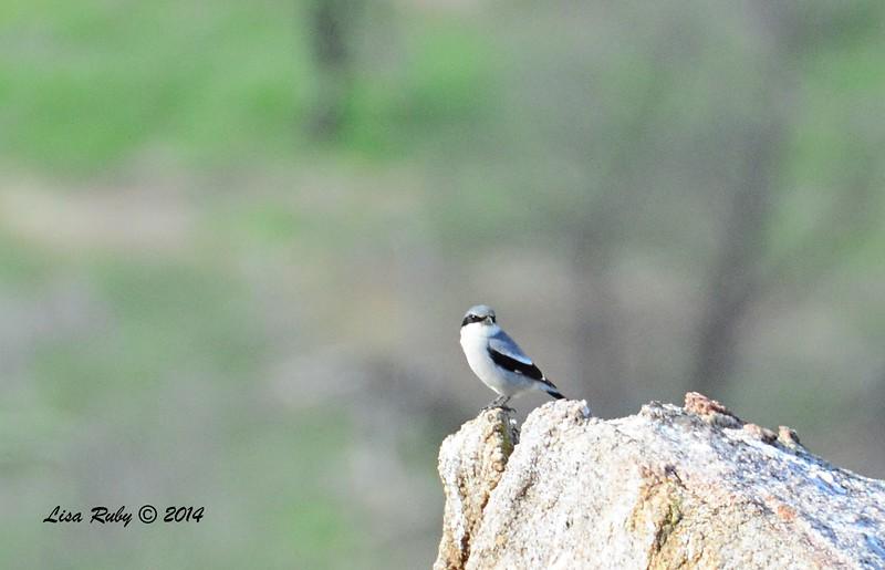 Loggerhead Shrike - 12/24/2014 - Highland Valley Coast to Crest Trail
