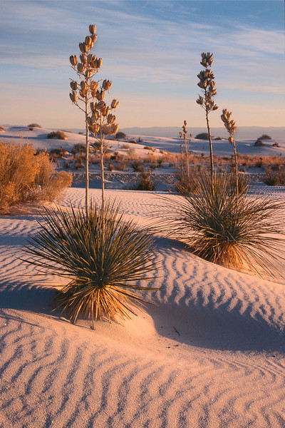 Yuccas at sunrise, White Sands, New Mexico