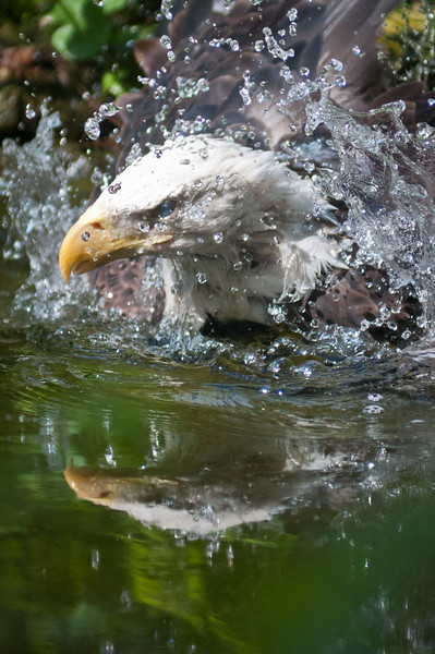 Eagle takes a bath