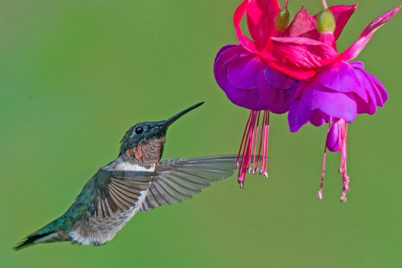 Ruby Throated Hummingbird at Fuschia
