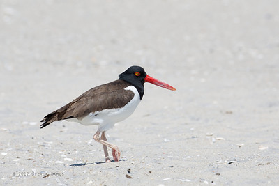 CHARADRIIDAE and HAEMATOPODIDAE - Plovers and Oystercatchers