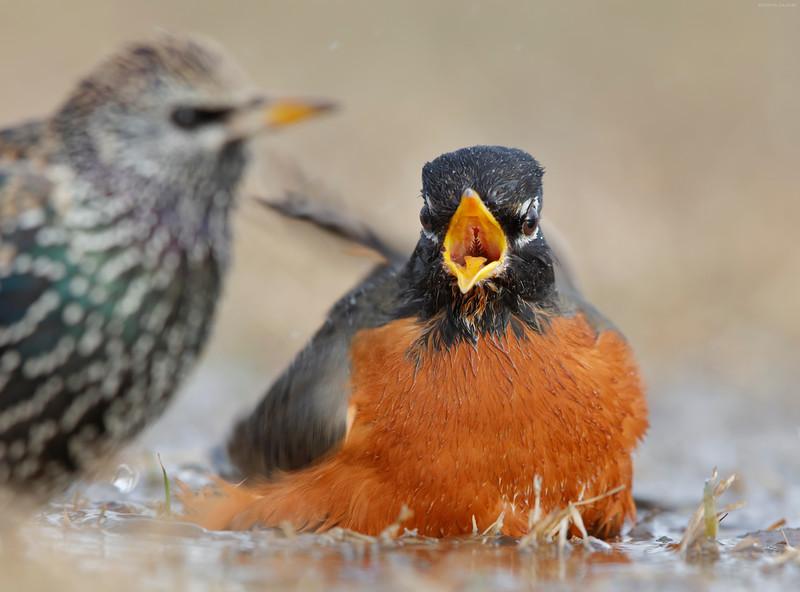 Robin/Starling fight