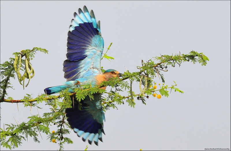 Angle of take-off..!... ( Indian Roller )