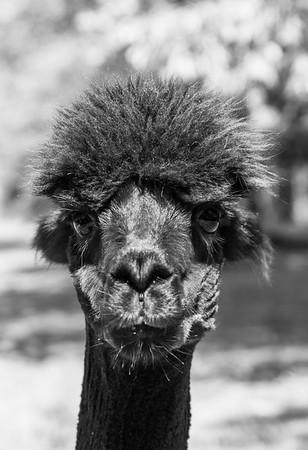 Arella Farms - Alpacas