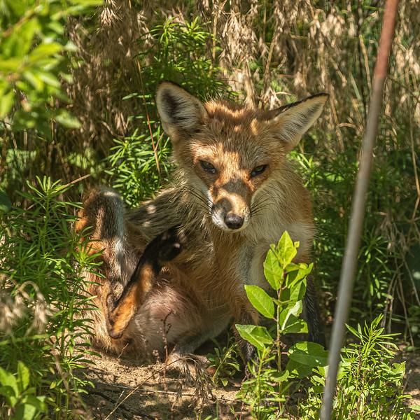 scratching fox.jpg