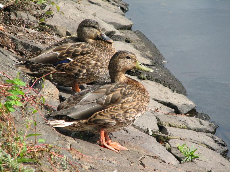 ducks4.jpg