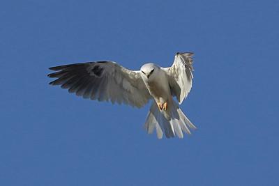 2021 Spring Valley - Kites, Cooper's Hawks