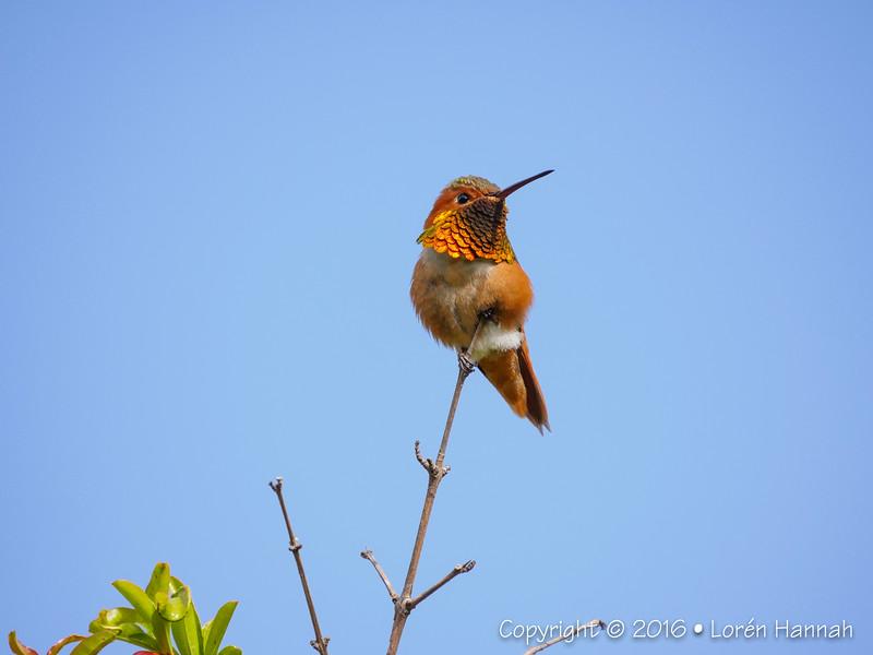 April 2016 - California Hummingbirds, Birds & Flora (with Pana-Leica 100-400)