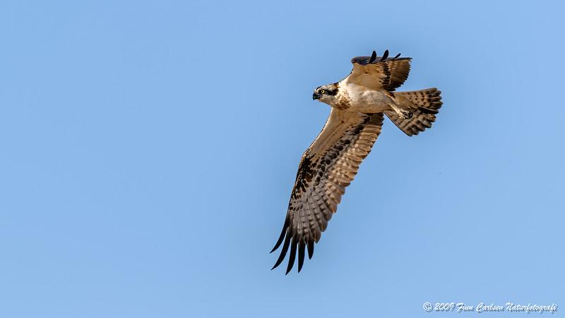 Fiskeørn - Pandeon haliaetus -  Osprey