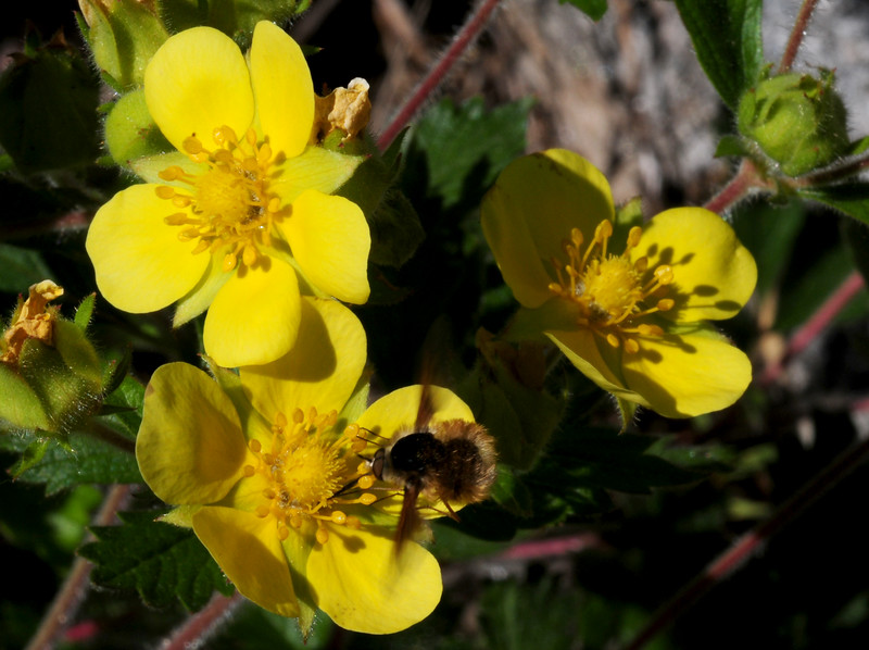 mystery flower, but similar to cinquefoil