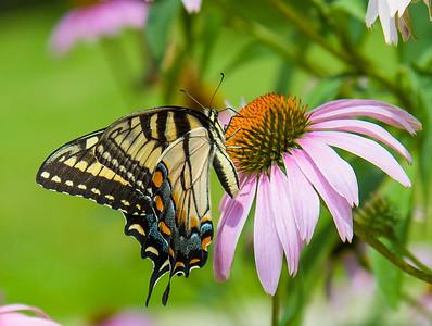 Butterflies, July 2013