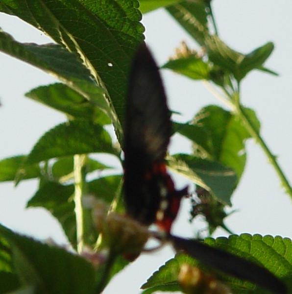 Butterfly 9c.jpg
