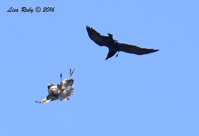 Juvenile Red-tailed Hawk  and Raven - 5/22/2016 - Sorrento Valley PQ Creek area